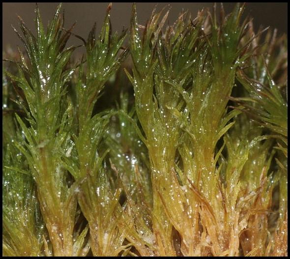 Eucladium verticilliatum Eucladium_verticillatum