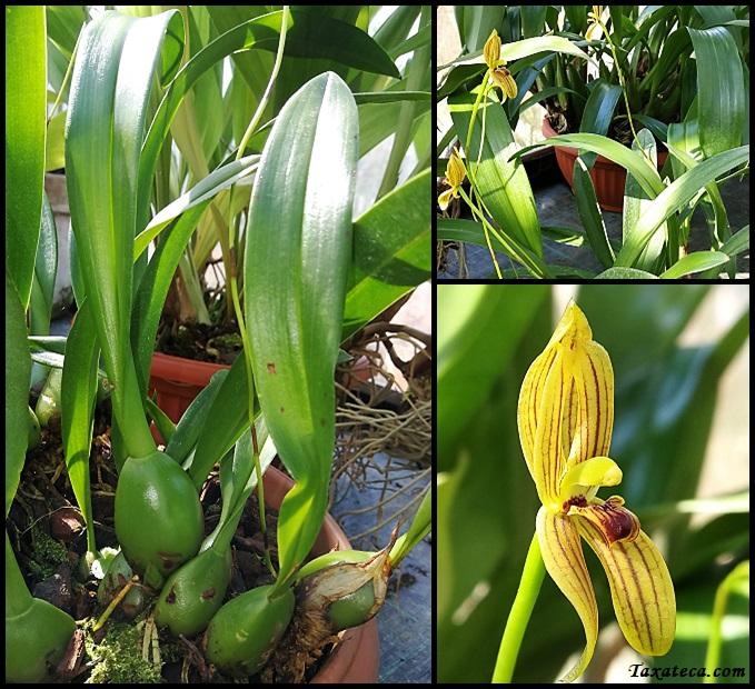 Maxillaria kellyana Maxillaria_kellyana