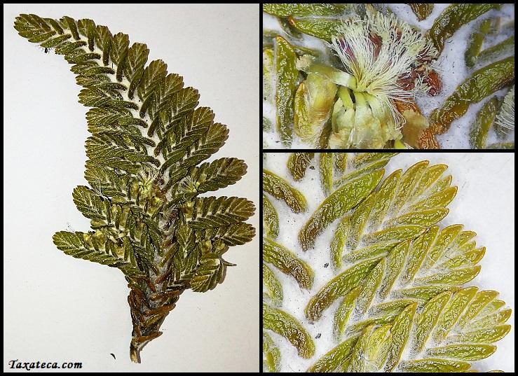 Loricaria thuyoides Loricaria_thuyoides