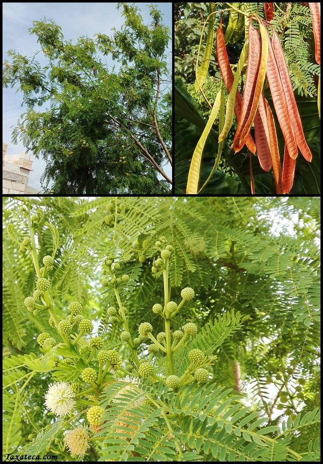 Leucaena leucocephala Leucaena_leucocephala