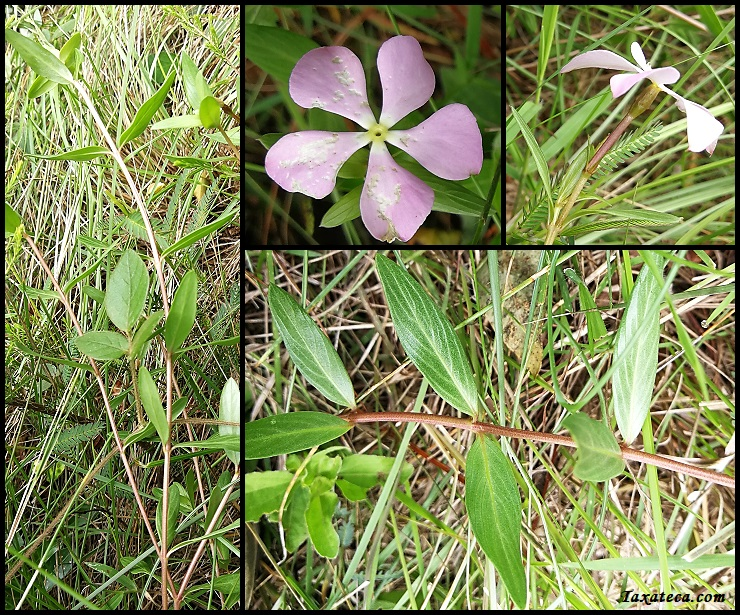 Catharanthus lanceus Catharanthus_lanceus