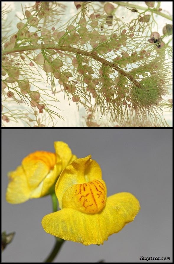 Utricularia australis Utricularia_australis