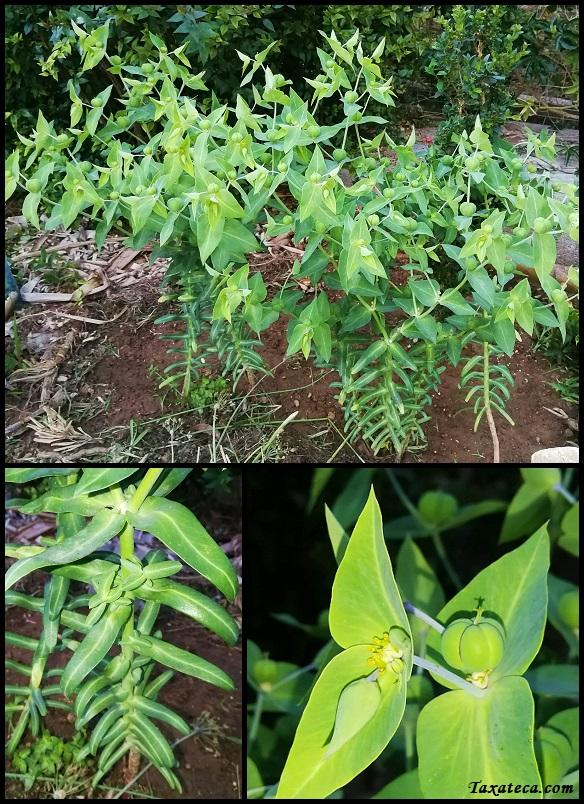 Euphorbia lathyris Euphorbia_lathyris