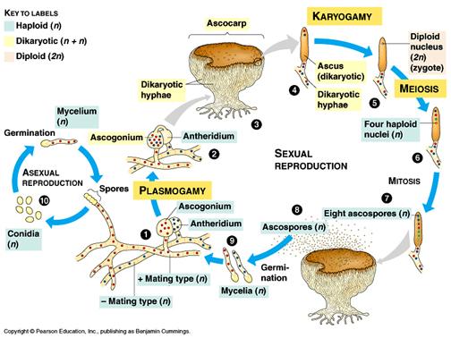 Caracteristicas del filo zygomycota asexual reproduction