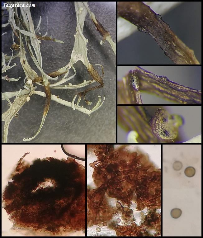 Lichenoconium usneae Lichenoconium_usneae