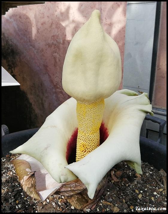 Amorphophallus prainii Amorphophallus_prainii