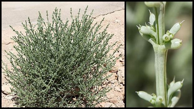 Anabasis setifera Anabasis_setifera