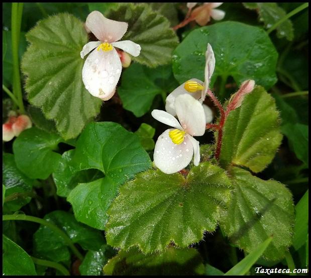 Begonia subvillosa Begonia_subvillosa