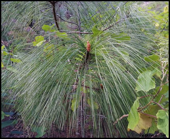 Pinus pseudostrobus Pinus_pseudostrobus