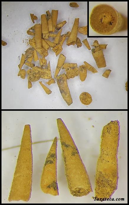Salterella maccullochi Salterella_macculochi